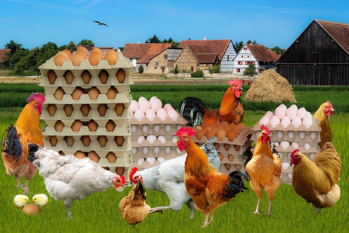 Chickens Demand Egg Cartons Accurately Represent Poultry Community